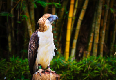 Philippines eagel also know as monkey eating eagle